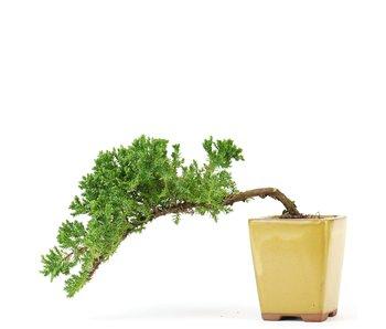 Juniperus procumbens, 25 cm, ± 5 years old