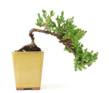 Juniperus procumbens, 17 cm, ± 5 years old