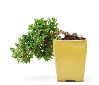 Juniperus procumbens, 18 cm, ± 5 years old