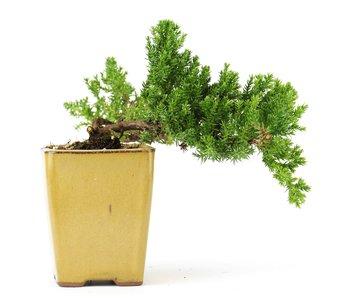 Juniperus procumbens, 16 cm, ± 5 years old