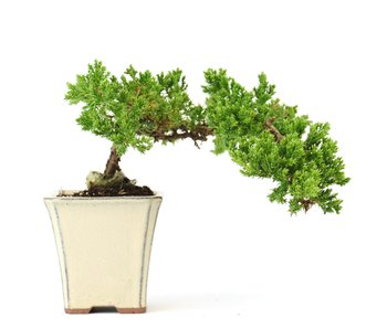 Juniperus procumbens, 20 cm, ± 5 years old