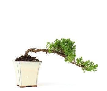 Juniperus procumbens, 26 cm, ± 5 years old