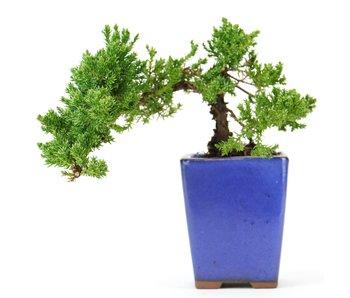 Juniperus procumbens, 22 cm, ± 5 years old