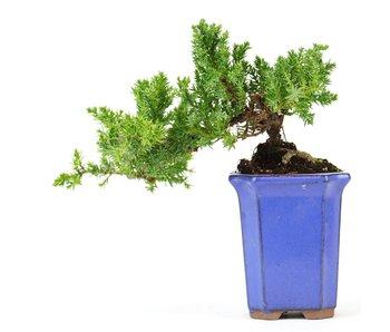 Juniperus procumbens, 20,5 cm, ± 5 jaar oud