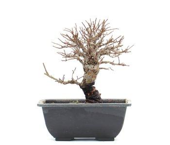 Ulmus parvifolia Nire, 13 cm, ± 8 jaar oud