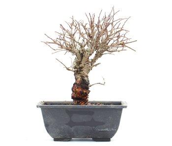 Ulmus parvifolia Nire, 14 cm, ± 8 jaar oud