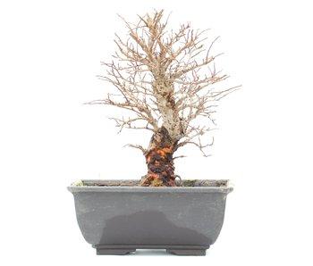 Ulmus parvifolia Nire, 17 cm, ± 8 jaar oud