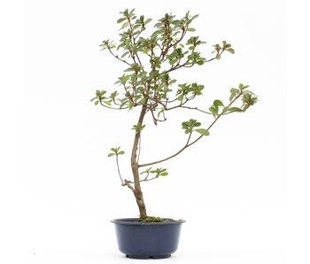 Rhododendron indicum, 41 cm, ± 8 jaar oud