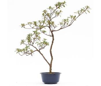 Rhododendron indicum, 46 cm, ± 8 jaar oud