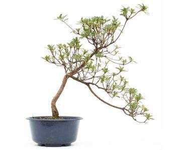 Rhododendron indicum, 27 cm, ± 8 jaar oud