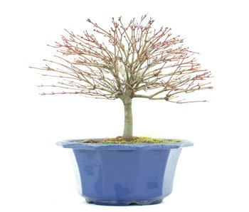 Acer palmatum Kiyohime, 16,5 cm, ± 8 anni
