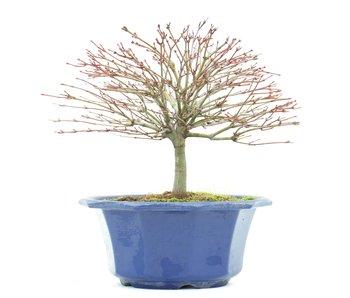 Acer palmatum Kiyohime, 16,5 cm, ± 8 años