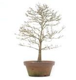 Acer palmatum Kashima, 40 cm, ± 35 jaar oud