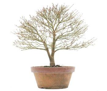 Acer palmatum Kashima, 32 cm, ± 35 years old
