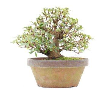 Rhododendron indicum Juko, 16 cm, ± 15 jaar oud