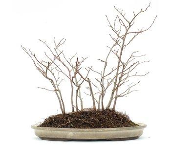 Carpinus orientalis, 30 cm, ± 6 years old