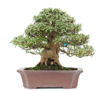 Rhododendron indicum Nyohozan, 25 cm, ± 35 jaar oud