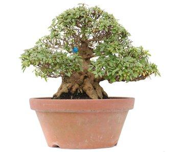Rhododendron indicum Kozan, 26 cm, ± 35 jaar oud
