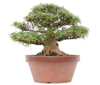 Rhododendron indicum Korin, 28 cm, ± 35 jaar oud