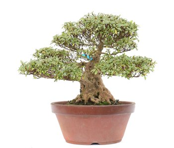 Rhododendron indicum Nyohozan, 29 cm, ± 35 jaar oud