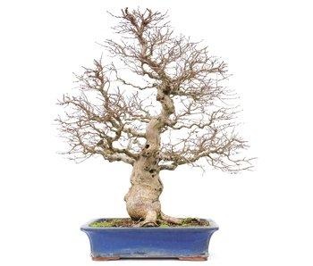 Carpinus coreana Yamadori, 60 cm, ± 40 anni