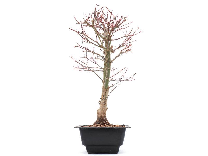 Acer palmatum Katsura, 36 cm, ± 10 jaar oud