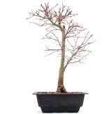 Acer palmatum Katsura, 35 cm, ± 10 jaar oud