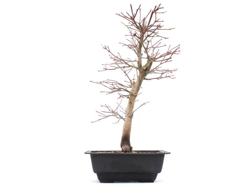Acer palmatum Katsura, 38 cm, ± 10 jaar oud