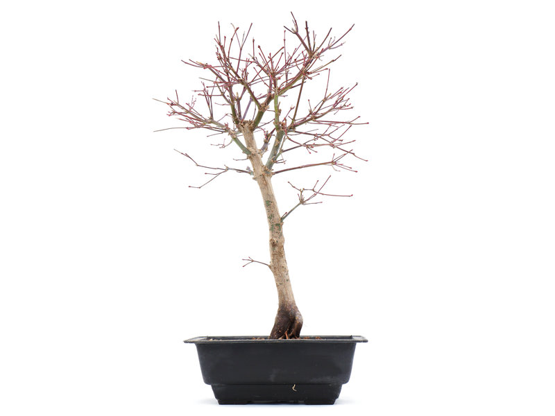 Acer palmatum Katsura, 39 cm, ± 10 jaar oud