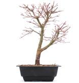 Acer palmatum Katsura, 30 cm, ± 10 jaar oud