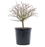 Acer palmatum Kiyohime, 23 cm, ± 10 jaar oud
