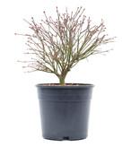 Acer palmatum Kiyohime, 20 cm, ± 10 jaar oud