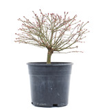 Acer palmatum Kiyohime, 18 cm, ± 10 jaar oud