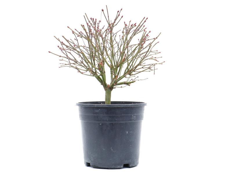 Acer palmatum Kiyohime, 21 cm, ± 10 jaar oud
