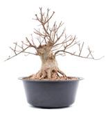 Acer buergerianum, 30 cm, ± 20 jaar oud