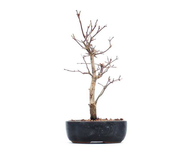 Acer palmatum Deshojo, 24 cm, ± 8 jaar oud