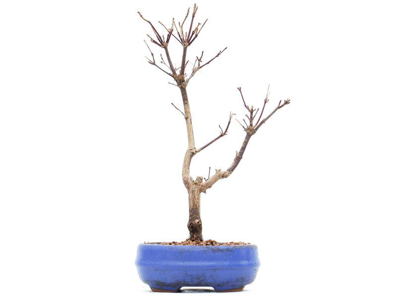 Acer palmatum Deshojo, 27 cm, ± 8 jaar oud