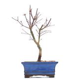 Acer palmatum Deshojo, 25 cm, ± 8 jaar oud