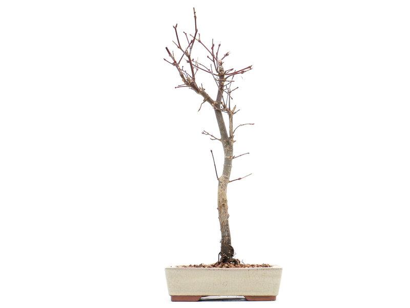 Acer palmatum Deshojo, 31 cm, ± 8 jaar oud