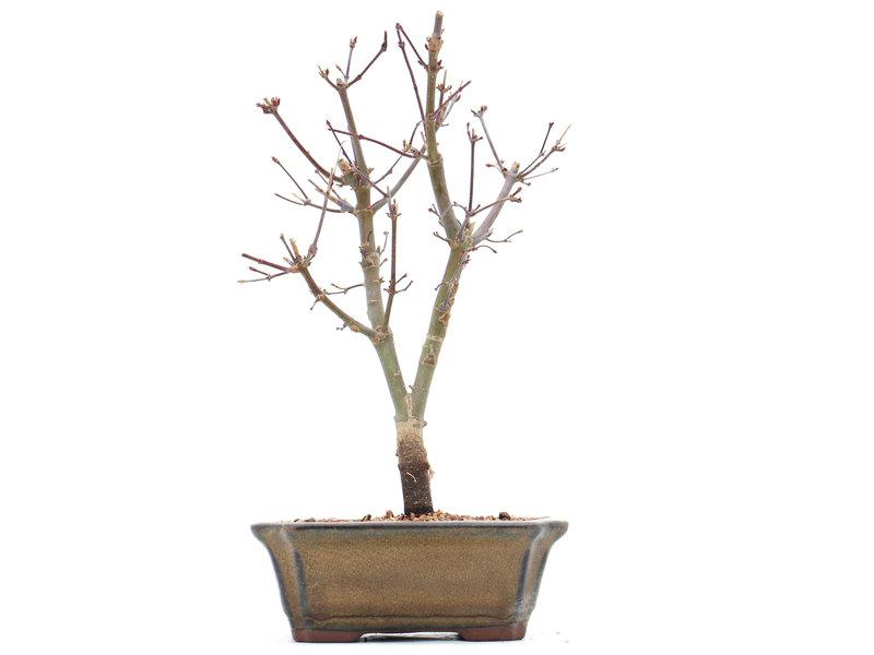 Acer palmatum Deshojo, 24 cm, ± 10 jaar oud