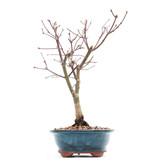 Acer palmatum Deshojo, 25 cm, ± 10 jaar oud