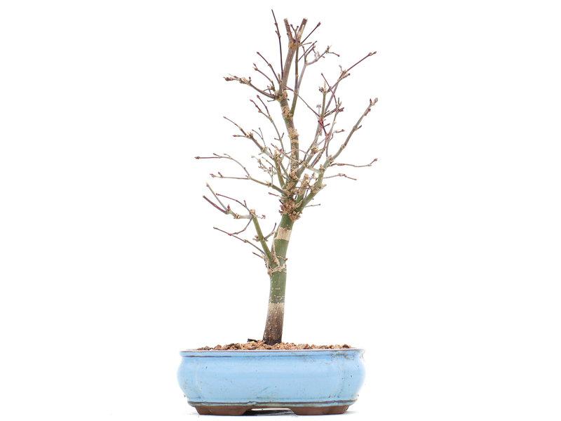 Acer palmatum Deshojo, 27 cm, ± 10 jaar oud