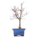 Acer palmatum Deshojo, 23 cm, ± 10 jaar oud