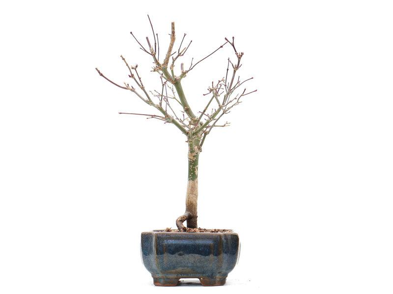 Acer palmatum Deshojo, 26 cm, ± 10 jaar oud