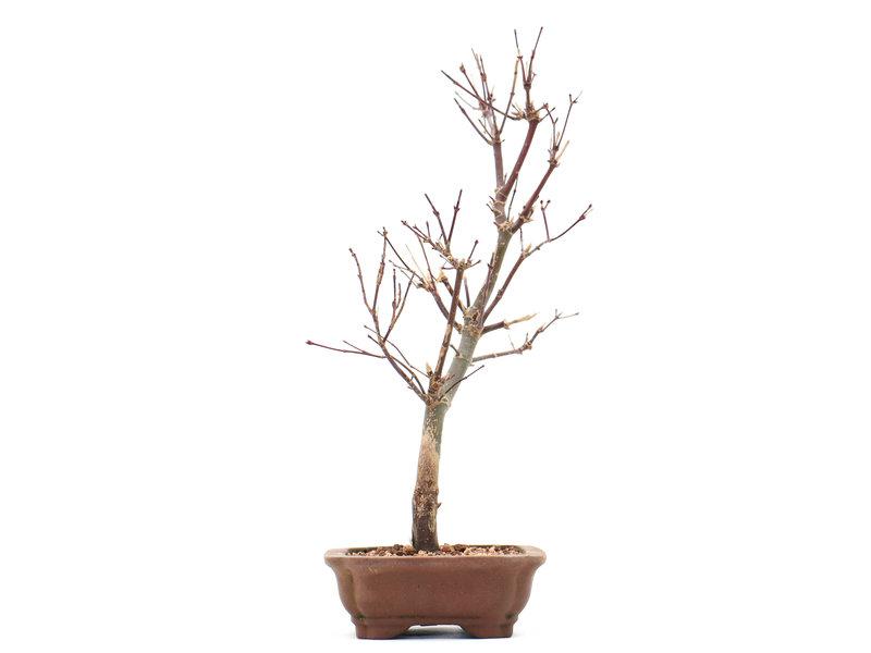 Acer palmatum Deshojo, 29 cm, ± 10 jaar oud