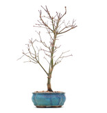 Acer palmatum Deshojo, 30 cm, ± 10 jaar oud