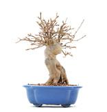 Acer buergerianum, 20 cm, ± 15 jaar oud