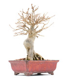 Acer buergerianum, 19 cm, ± 15 jaar oud