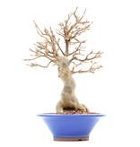 Acer buergerianum, 23 cm, ± 15 jaar oud