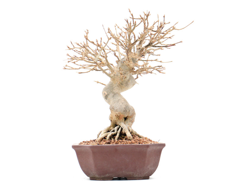 Acer buergerianum, 21 cm, ± 15 jaar oud